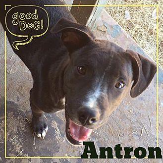 Pointer Mix Puppy for adoption in Snyder, Texas - Antron