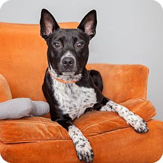 Australian Cattle Dog Mix Dog for adoption in Mission Hills, California - Cucumber