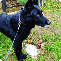 Adopt A Pet :: Remington - Brookfield, CT