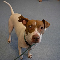 Pit Bull Terrier Mix Dog for adoption in Bay Shore, New York - Cali