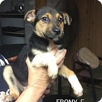 Adopt A Pet :: Ebony Louise - Trenton, NJ