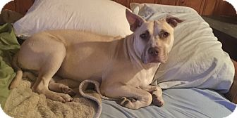 American Staffordshire Terrier/Labrador Retriever Mix Dog for adoption in Jefferson Hills, Pennsylvania - Lady-See Video!