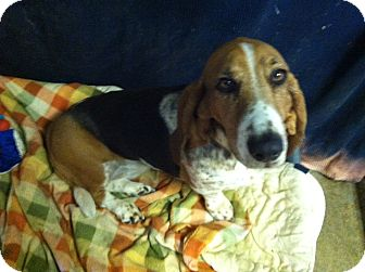 Basset Hound Mix Dog for adoption in Acton, California - Sammy