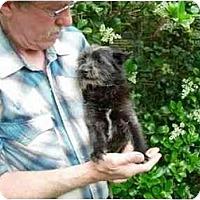 Adopt A Pet :: Schnorkie - Kingwood, TX
