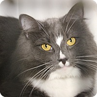 Domestic Longhair Cat for adoption in Middletown, Connecticut - Maggie
