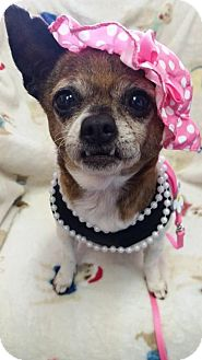 Chihuahua/Boston Terrier Mix Dog for adoption in Fairmont, West Virginia - Sipsey Starr