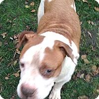Adopt A Pet :: Meatball - Cincinnati, OH