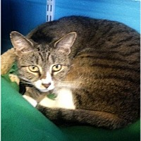 Domestic Shorthair Cat for adoption in Huntington, New York - Hope