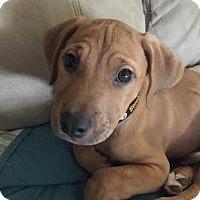 Adopt A Pet :: Frankie - Baden, PA