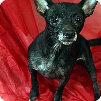 Adopt A Pet :: Rachael Chi - St. Louis, MO