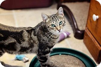 Domestic Shorthair Cat for adoption in Markham, Ontario - Scout