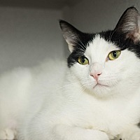 Domestic Shorthair Cat for adoption in Los Angeles, California - Morgana