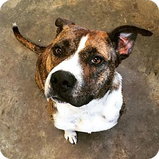 American Bulldog/Boxer Mix Dog for adoption in Montgomery, Pennsylvania - Empress