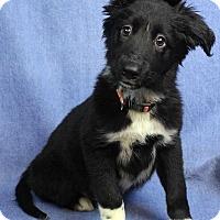 Adopt A Pet :: TINKY - Westminster, CO
