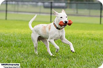 Labrador Retriever/Collie Mix Dog for adoption in Vancouver, British Columbia - Sawyer