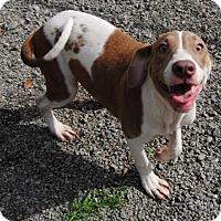 Pointer/Bulldog Mix Puppy for adoption in Ridgeland, South Carolina - Seahawk