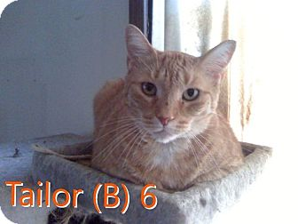Domestic Shorthair Cat for adoption in North Branch, Michigan - Tailor