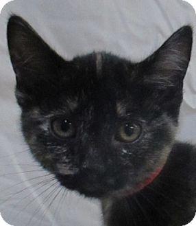 Domestic Shorthair Kitten for adoption in Lloydminster, Alberta - Haunt
