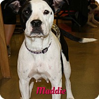 Pit Bull Terrier Mix Dog for adoption in Cheney, Kansas - Maddie