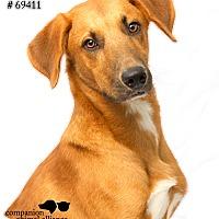 Hound (Unknown Type)/Labrador Retriever Mix Dog for adoption in Baton Rouge, Louisiana - Benny