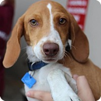 Beagle/Hound (Unknown Type) Mix Dog for adoption in Royal Palm Beach, Florida - Chase