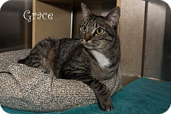 Hemingway/Polydactyl Cat for adoption in San Juan Capistrano, California - Grace