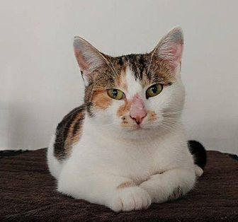 Calico Cat for adoption in Middletown, New York - Lady Bird