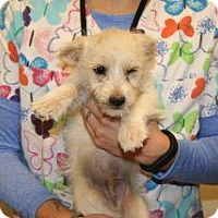 Terrier (Unknown Type, Small) Mix Puppy for adoption in Wildomar, California - 320597 LF
