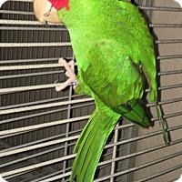 Adopt A Pet :: Sweet Pea - Punta Gorda, FL