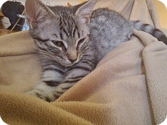 Domestic Shorthair Kitten for adoption in Toronto, Ontario - Henry