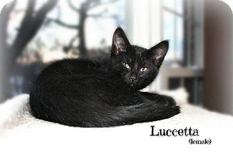 Domestic Shorthair Kitten for adoption in Glen Mills, Pennsylvania - Luccetta