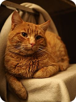 Domestic Shorthair Cat for adoption in THORNHILL, Ontario - Cheeto