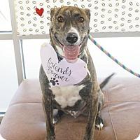 Adopt A Pet :: Ranger - Denver, CO
