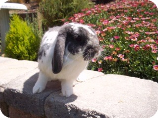 Mini Lop for adoption in Bonita, California - Thomas
