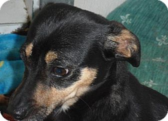 Manchester Terrier/Italian Greyhound Mix Dog for adoption in Seattle, Washington - Shanaynee
