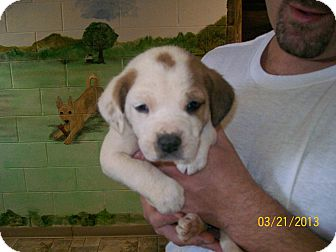 St. Bernard/Hound (Unknown Type) Mix Puppy for adoption in Sudbury, Massachusetts - EMMY LOU - ADOPTION PENDING
