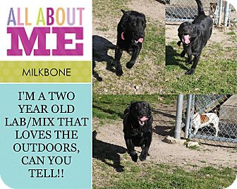 Border Collie/Labrador Retriever Mix Dog for adoption in Lufkin, Texas - Milkbone