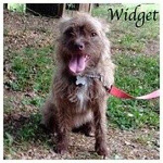 Brussels Griffon/Affenpinscher Mix Dog for adoption in Newnan, Georgia - Widget