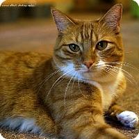 Adopt A Pet :: Classy - Tucson, AZ