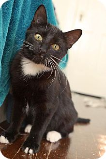 Domestic Shorthair Cat for adoption in Houston, Texas - Sugar Dot - Arabelle