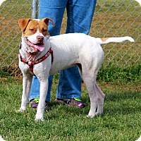 American Bulldog/American Pit Bull Terrier Mix Dog for adoption in Huntsville, Alabama - Penny