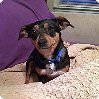 Adopt A Pet :: Beenie - Huntsville, AL