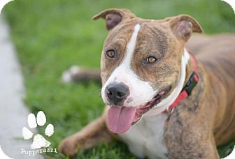 Pit Bull Terrier Mix Dog for adoption in Orange, California - Joey