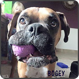Boxer Dog for adoption in Boise, Idaho - Bogie