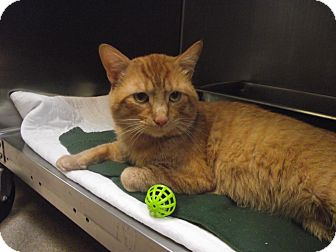 Domestic Shorthair Cat for adoption in Chambersburg, Pennsylvania - Mikey