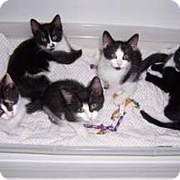 Adopt A Pet :: Patty - Merrifield, VA