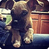 Adopt A Pet :: DiMaggio - Hurst, TX
