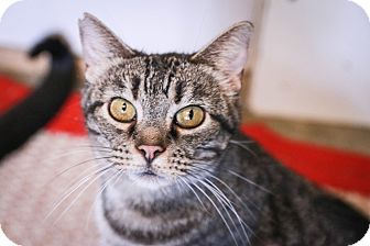 Domestic Shorthair Cat for adoption in Loogootee, Indiana - Vector