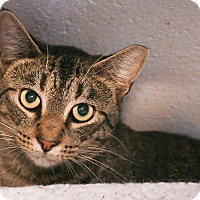 Domestic Shorthair Cat for adoption in Loogootee, Indiana - Dusty