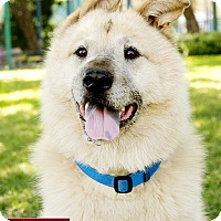 Golden Retriever/Chow Chow Mix Dog for adoption in Marina del Rey, California - Vergil